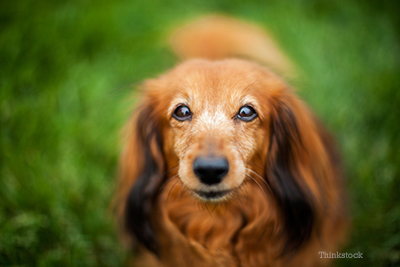 Senior male dachshund