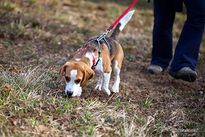Beagle sniffing the ground