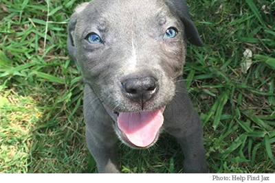 Jax the pitbull puppy