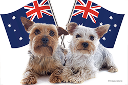 Two Yorkies with Australia flag