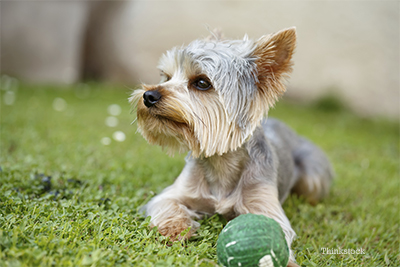 Yorkie playing with a ball