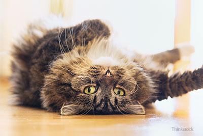 Treatment of Diabetes Mellitus in Your Cat