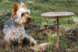 Dog next to big mushroom