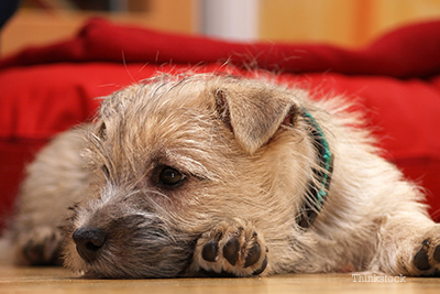 Cairn Terrier laying down