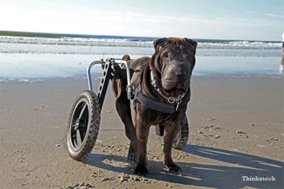 Paralyzed Dog on beach