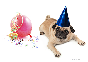 Unhappy Pug celebrating the New Year