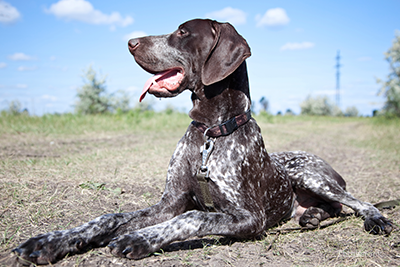 German short-haired pointer laying down outside