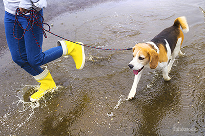 Dog walking in puddle