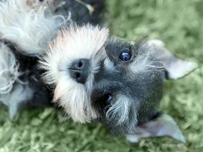 Canine Chronic Pancreatitis in Dogs