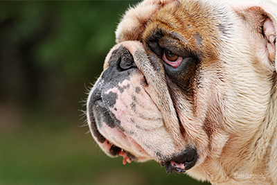 English Bulldog with red eyes