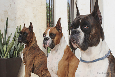 Boxer and friends with ears cropped