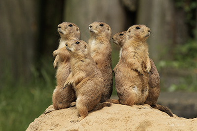 Prairie Dogs standing up