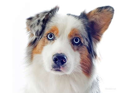 Australian shepherd starring with into camera