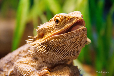 INOpets.com Anything for Pets Parents & Their Pets Bearded dragon