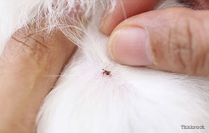 Closeup of tick in dog's skin