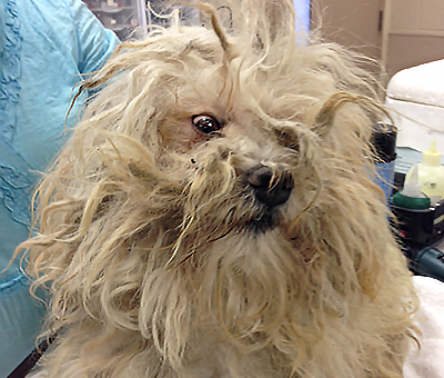 Amazing Dog Makeover Photos Too Much Hair Is Painful