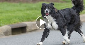 Border Collie running in the street
