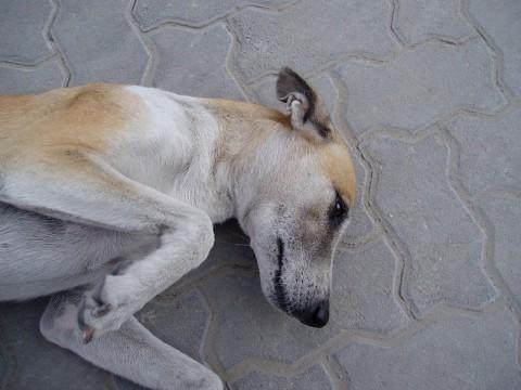 Allergic Dermatitis in Dogs, Canine Skin Allergies