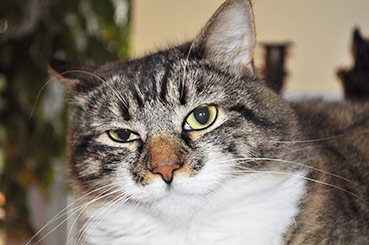 Feline cat impacted anal glands