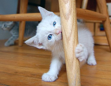 Kitten playing with a chair leg