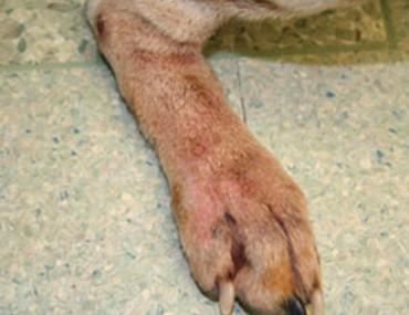 Chó bị dị ứng
