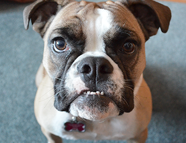 Dog Lung and Breathing Problems - Canine Chronic Bronchitis