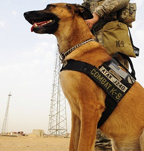 Military canine