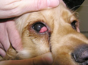 White Eye Gunk Dog