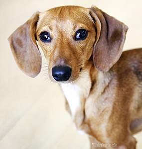 Ear Infections in Dogs - Pain and Swelling in your Canines's