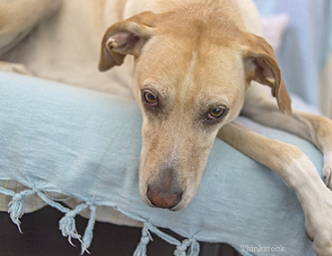 False Pregnancy (Pseudocyesis) in Dogs