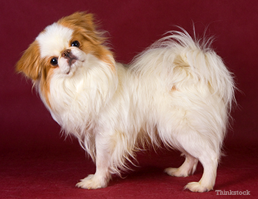 Chin Dog Breed Information and Pictures