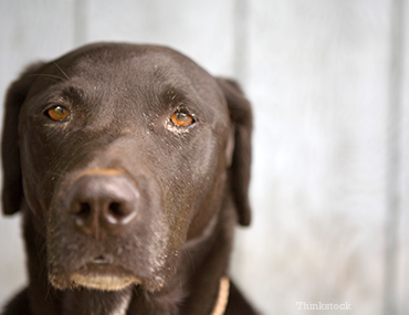 Septic Shock in Dogs