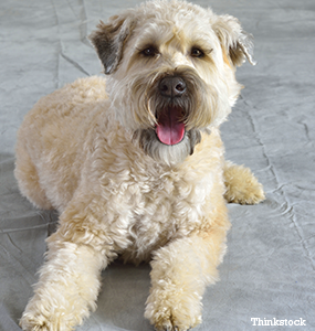 The Soft Coated Wheaten Terrier