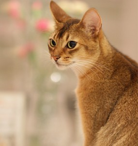 Abyssinian Mix The Abyssinian Cat