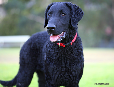 the curly coated retriever