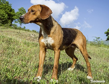 the english foxhound