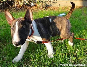 Full Size Vs Miniature Bull Terrier The Miniature B...