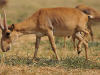 85,000 Rare Antelopes Perish in a Few Weeks — On Edge of Extinction