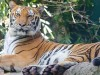 Dog Virus Poses Threat to Tigers and Lions