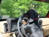 Dachshund on steering wheel