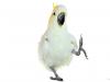 Snowball Dancing Cockatoo