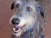 The Scottish Deerhound