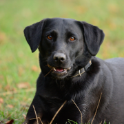labrador with anal gland cancer can be helped with surgery