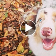 Australian Shepherd in a pile of leaves