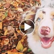 Australian Shepherd in a pile of leaves