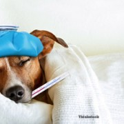 dog in bed, sick with canine influenza: H3N2