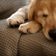Golden Retriever Sleeping on Couch