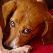 beagle with anal sac problems /><p><em>Kelly Serfas, a Certified Veterinary Technician in Bethlehem, PA, contributed to this article</em><br /><br />Toby, a 9 year old <a href=