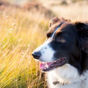 border collie in tall grass