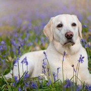 yellow labrador dog outside